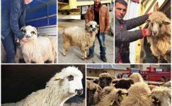 Genç Çiftçilere Damızlık Koyunları Dağıtıldı
