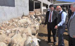 Ankara tiftik de Türkiye üretiminin % 66'sını karşılıyor
