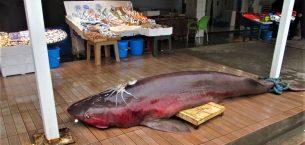 Balıkçıların Ağına Takılan Dev Balık Görenleri Şaşırttı