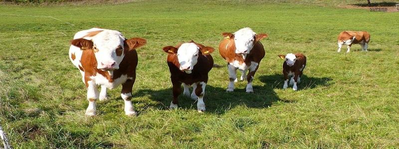 Et ve Süt Kurumu ile TİGEM 400 Bin Damızlık Dana İthal Edecek