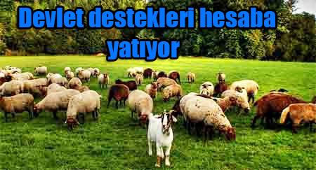 Koyun Keçi Desteklemeleri Hesaplara Yatıyor