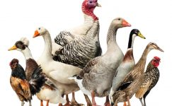Ağustos Ayında Kesilen Tavuk Sayısı 111 Milyon