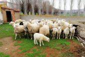 Çalınan 34 adet koyun ve 22 adet kuzu bulunup sahibine teslim edildi