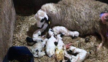 Edirne'de bir koyun, tek batında altı kuzu doğurdu