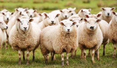Heyecanla Beklenen 300 koyun proje başvuruları başladı