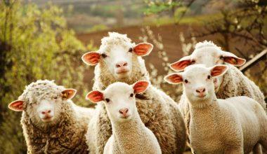 300 Koyun Projesi İçin Yarın Son Gün Yarın