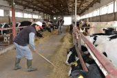 SÜ'de geleceğin veteriner hekimleri, uygulama çiftliğinde eğitim görüyor