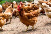 Tavuk yumurtası üretimi Ocak'ta yüzde 1,4 azaldı