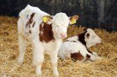 Üstün vasıflı' sığırlar dünyaya geldi