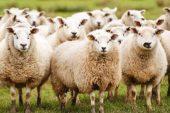 Çobana emanet edilen koyunlardan 17'si kayboldu