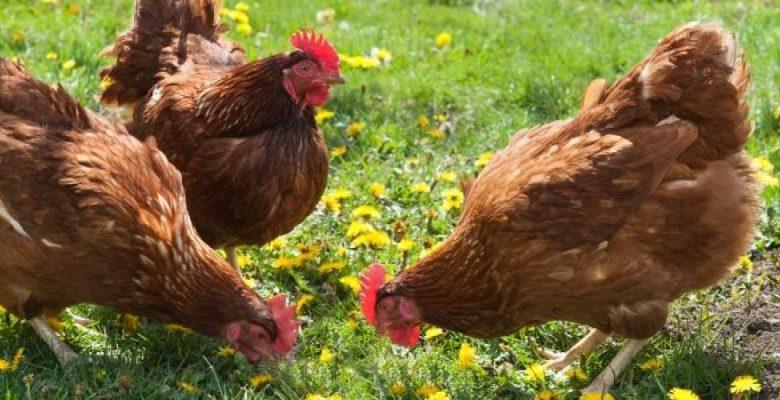 Tavuk yumurtası üretimi Mart ayında 1,7 milyar adet olarak gerçekleşti