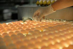 Türkiye'den ihraç edilen her 3 yumurtadan biri Kayseri'den