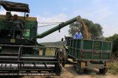 – Adana'da nohut ekim alanları arttı