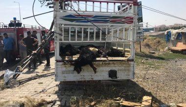 Trafik kazası: 20 hayvan telef oldu