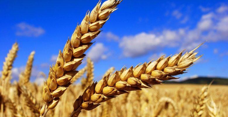 Buğday üretiminde hem verim hemde kalite düştü