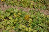 Iğdır Ovası'nda bal küpü hasadı
