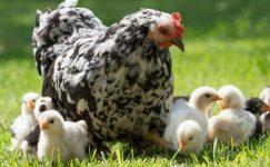 Kümes hayvancılığı üretimi istatistiklerini açıkladı