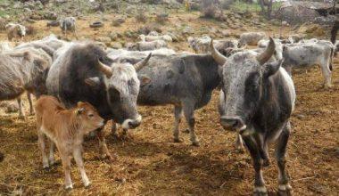 En köklü çözüm yerli hayvancılık