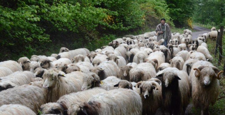 Anaç Koyun ve Keçi Desteklemesi Müracaatları Başladı