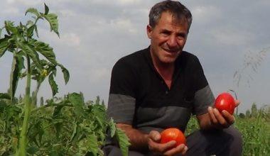 Süper domates hasadı devam ediyor