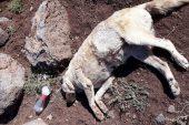 Siverek'te 10 sokak köpeğini zehirlediler