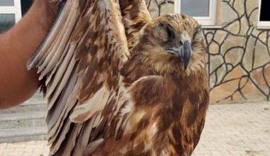Kızıl şahinin gözlerini diken kaçak avcılara büyük ceza