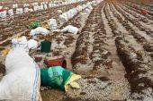 Patates toplayan işçiler doludan römork altına saklanarak korundu