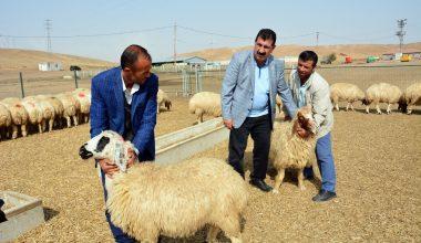 TÜDKİYEB 300 Koyun Projesi'ne start verdi