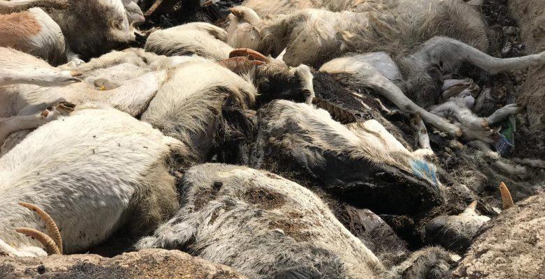 Denizli'de aç bırakıldığı öne sürülen 150 keçi telef oldu