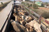 Sağlık raporsuz hayvan sevkıyatına ceza yağdı