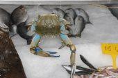 Sinop'ta balıkçıların ağlarına mavi yengeç takıldı