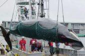 Japonya balina avına devam edecek