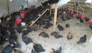 Giresun'da Organik Yumurta Üretimi Başlıyor