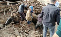 Depremde ahır çöktü, inekler enkaz altında kaldı