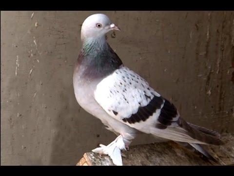 Güvercinlerini beslemek isterken canından oldu