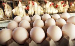 Tavuk yumurtası üretimde artış