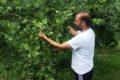 Üreticinin kahverengi altını: Fındık
