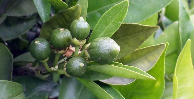 Aydın'da turunçgil bahçelerinde Harnup Güvesi tehlikesi