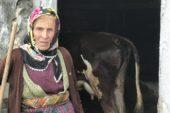 Honefter Yaylası'ndaki inek ölümleri yayla sakinlerini korkutuyor