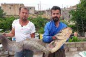 Kızılırmak'ta tam 2 metre boyunda yayın balığı tuttular
