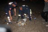 Yumurta bırakırken yolunu kaybeden dev Caretta Caretta köpeklerin saldırısına uğradı