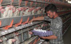 Yumurta üreticisi çözüm bekliyor