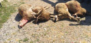 Sürüye saldıran kurtlar 12 hayvanı telef etti