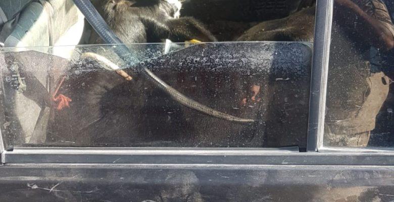 Çaldıkları büyükbaş hayvanları otomobille kaçırırken yakalandılar