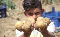 Üreticiyi verimiyle umutlandıran patates fiyatıyla hüsrana uğrattı