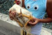 4 bacaklı tavuk görenleri hayrete düşürüyor