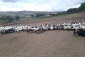 Kütahya'da kaz üreticiliği hızla artıyor