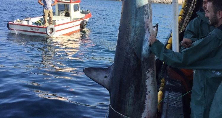 Erdek'te ağlara takılan köpek balığı denize bırakıldı