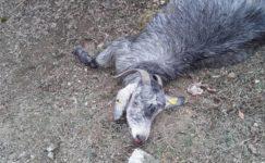 Çakallar 15 keçiyi telef etti