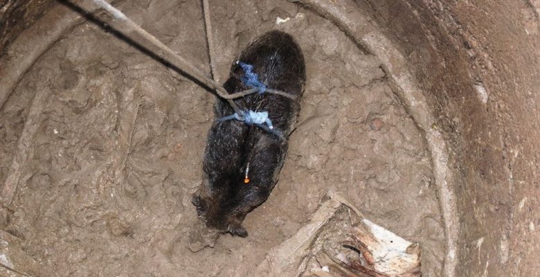 Kuyuya düşen 100 kiloluk domuz vinç yardımıyla 6 saate kurtarıldı